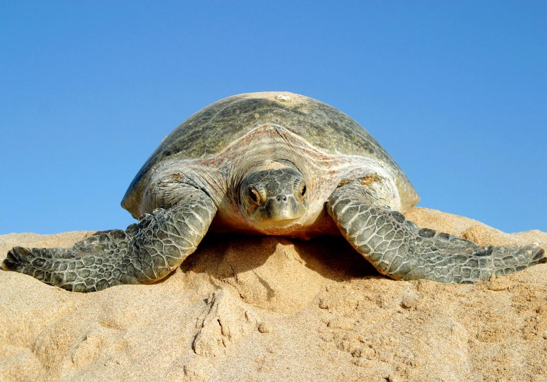 turtle in ras al-jinz 100