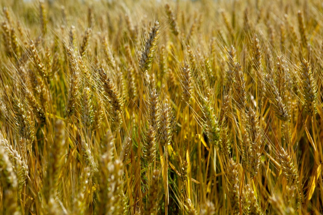 A crop waiitng to be harvested