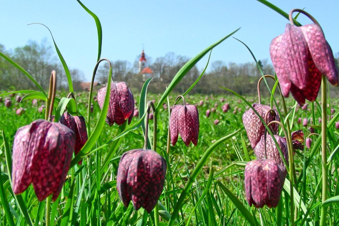 Wetland tulips